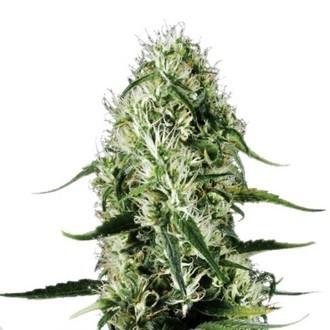 Super Silver Haze (Sensation Seeds) feminisiert