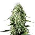 Super Silver Haze (Sensation Seeds) feminized