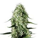 Super Silver Haze (Sensation Seeds) Femminizzata