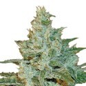 AK 47 (Sensation Seeds) feminized
