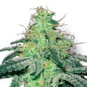 White Widow (Sensation Seeds) Feminisiert