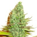 Sensation Victory (Sensation Seeds) feminized
