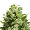 Cheese (Sensation Seeds) feminisiert