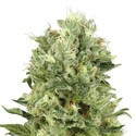 Critical Auto (Sensation Seeds) feminisiert