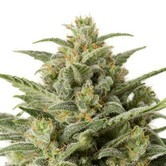 White Widow Auto (Sensation Seeds) feminized