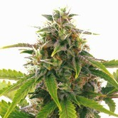 Sensation Haze Auto (Sensation Seeds) feminized