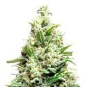 AK Sensation Auto (Sensation Seeds) feminized