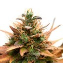 Medijuana CBD (Sensation Seeds) feminized