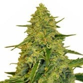 Sensation CBD (Sensation Seeds) feminized
