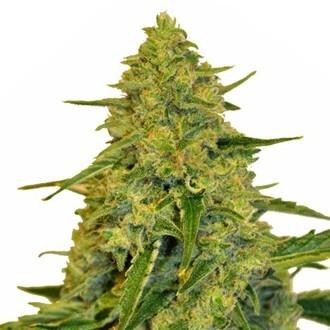 Sensation CBD (Sensation Seeds) Femminizzata