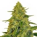 Sensation CBD (Sensation Seeds) feminized