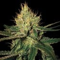 Cannalope Haze (DNA Genetics) feminisiert