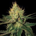 Cannalope Haze (DNA Genetics) femminizzata