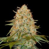 LA Chocolat (DNA Genetics) feminized