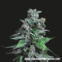 Moscow Blueberry (Kalashnikov Seeds) feminized
