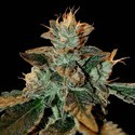 Cataract Kush (DNA Genetics) feminized