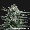 Acid Blue Auto (Kalashnikov Seeds) feminized