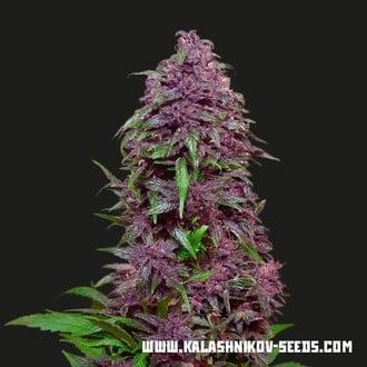 Purple Mazar Auto (Kalashnikov Seeds) Feminisiert