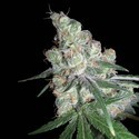 Chocolope (DNA Genetics) feminized