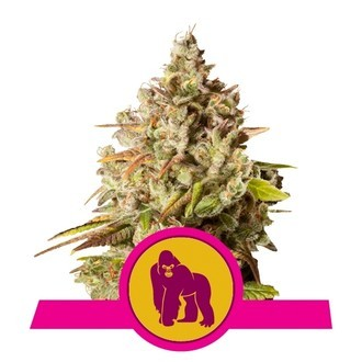 Royal Gorilla (Royal Queen Seeds) Femminizzata