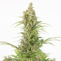 White Widow Auto CBD (Dinafem) feminized