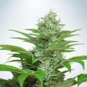 Auto CBD Star (Ministry of Cannabis) femminizzata
