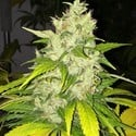 Chocolate Chunk (T.H. Seeds) feminized
