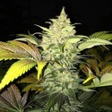 Roof 95 (T.H. Seeds) Femminizzata