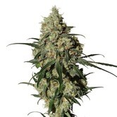 Orinoco (OR-1) (Medical Marijuana Genetics) Femminizzata