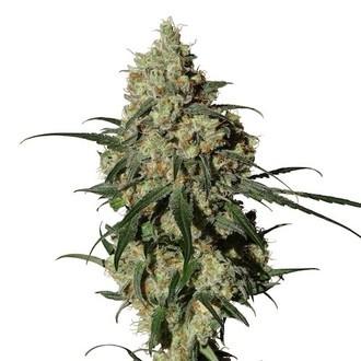 Orinoco (OR-1) (Medical Marijuana Genetics) Femminizzata