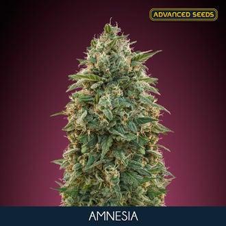Amnesia (Advanced Seeds) Feminisiert