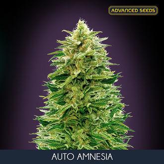 Auto Amnesia (Advanced Seeds) feminisiert