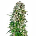 Big Bud Automatic (Sensi Seeds) feminized