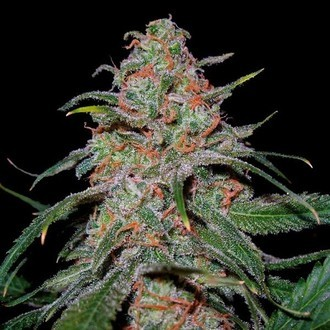 Lemon Skunk (DNA Genetics) feminized