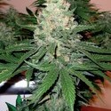 Rocklock (DNA Genetics) feminized