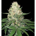Rocklock (DNA Genetics) feminisiert