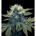 Sharksbreath (DNA Genetics) feminized