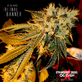 Original Bruce Banner (Dark Horse Genetics) Regular