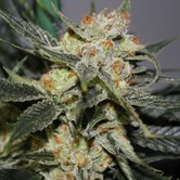 Strawberry Shortcake (Dark Horse Genetics) Regulär