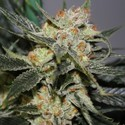 Strawberry Shortcake (Dark Horse Genetics) Regolare