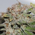 Hulk Smash (Dark Horse Genetics) Regular