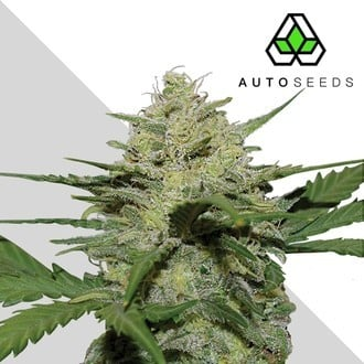 Girl Scout Cookies (Auto Seeds) feminisiert