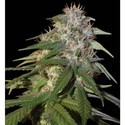 Sour Cream (DNA Genetics) feminized