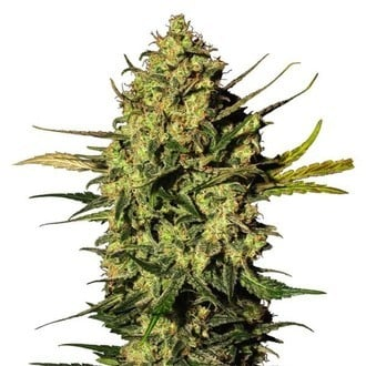 Master Kush Automatic (White Label) Feminized