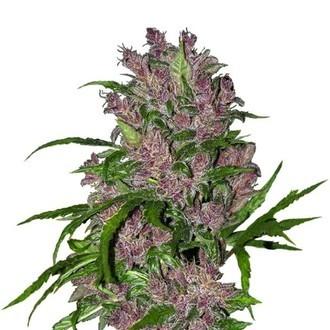 Purple Bud Automatic (White Label) feminisiert
