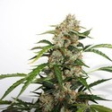 Auto Orange Bud (Dutch Passion) feminisiert