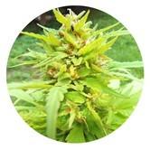 Golden Cannary (Top Tao Seeds) regolare
