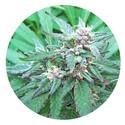 Blueberry Crystal (Top Tao Seeds) regulär
