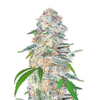 Blue Dream'matic (FastBuds) feminized