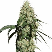 Nagual (NG-1) (Medical Marijuana Genetics) femminizzata